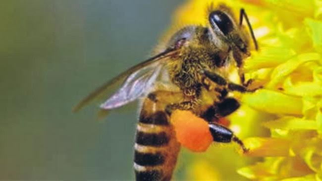 Νέα μελέτη δείχνει νέο τοξικό κίνδυνο για τις μέλισσες
