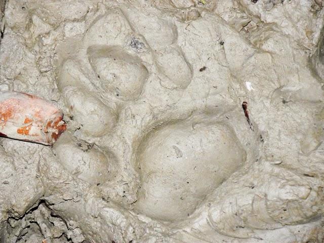 Tiger foot-print in mud inside Sundarbans