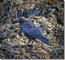 crow Sept 2014