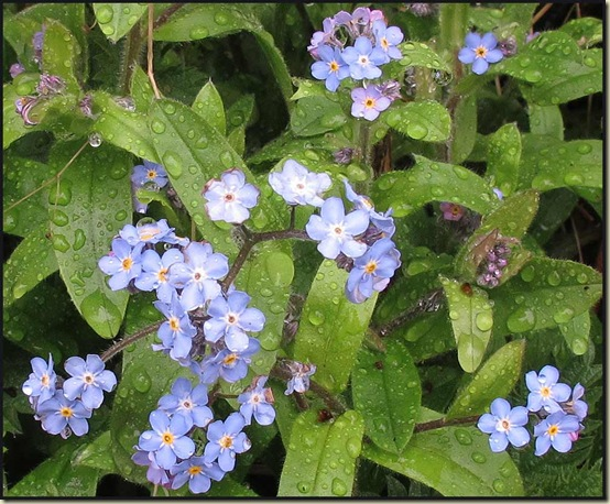 Forgetmenots by the Bridgewater Canal