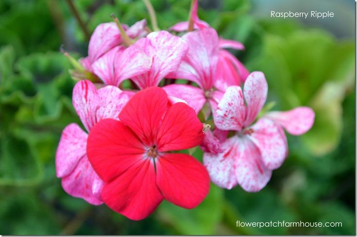 raspberry ripple