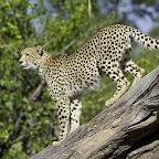 Gepard im Linyantigebiet © Foto: Dana Allen | Wilderness Safaris