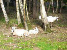 2013.10.26-042 oryx d'Arabie