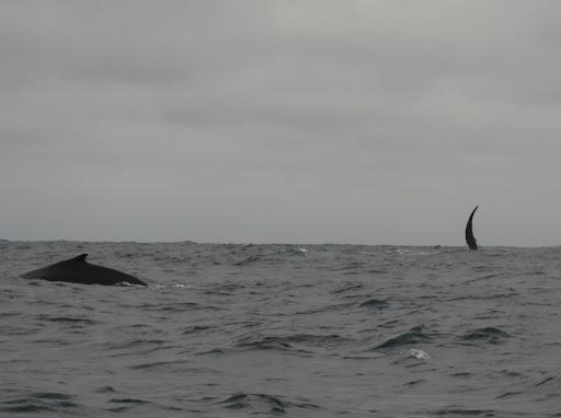 Humpback whales near Isla de la Plata, Ecuador