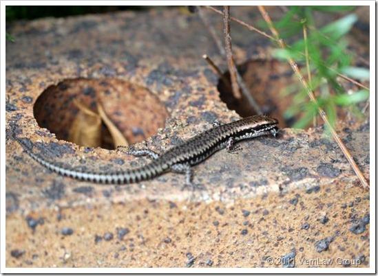 LizardIMG_0801 (2)