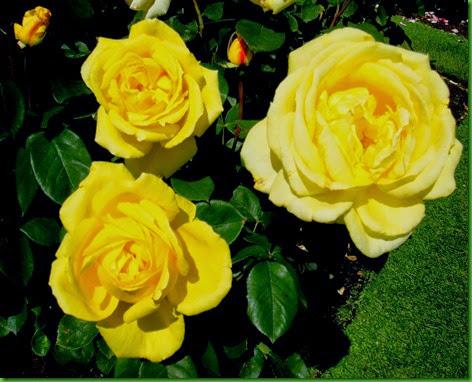 Rosa Western Sun