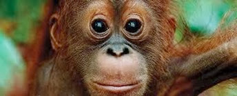 Amazing Pictures of Animals, Photo, Nature, Incredibel, Funny, Zoo, Bornean orangutan,Pongo pygmaeus, Primates, Alex (8)