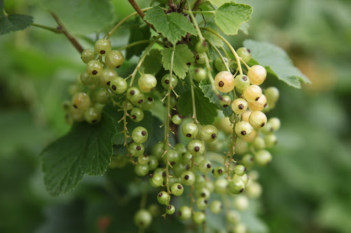 White currants are also turned into jams, and also wine, and syrup.  Because of their sweetness, you can eat them out of hand.  White and sweet like me right, Franny?