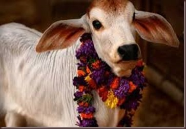 Amazing Pictures of Animals photo Nature exotic funny incredibel Zoo Indian sacred cow, Bos indicus.Zebu, Alex (5)