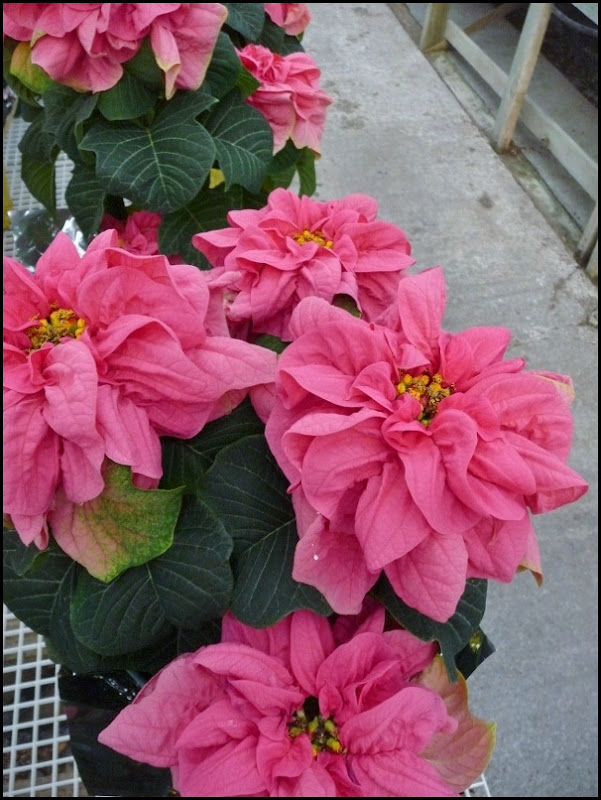 poinsettia farm2011 014 (600x800)