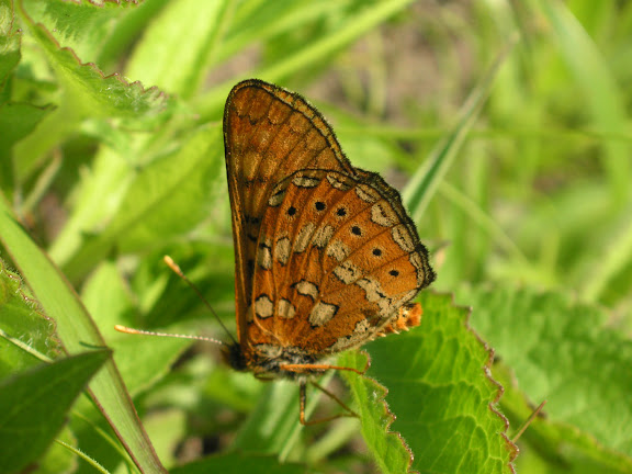 Euphydryas davidi OBERTHÜR, 1881, mâle. Au sud d'Andreevka, 5 juillet 2011. Photo : J. Michel