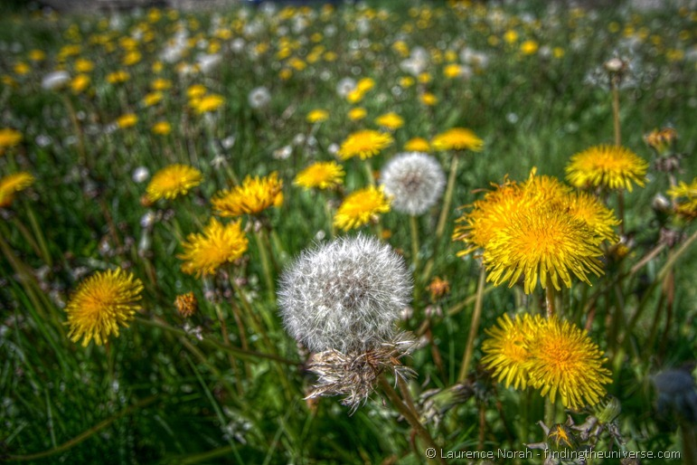 Dandelions