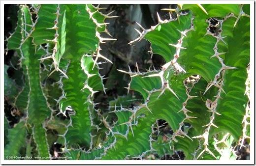 Euphorbia_grandicornis
