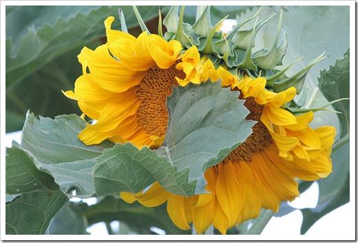 110707_sunflowers_davis_17