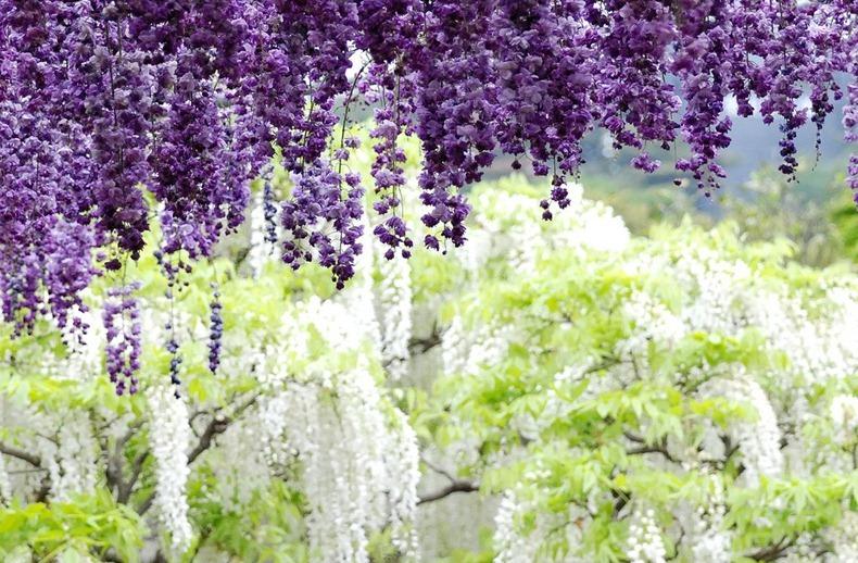 ashikaga-flower-park-23