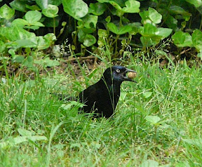 Grackle with a peanut