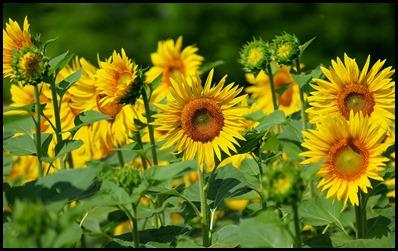 sun-flower3