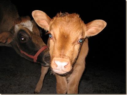 calf 013