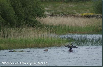 17-cormorant-on-loch