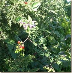 nightshade vine