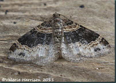 Dark-Barred-Twin-Spot-Carpet (2)