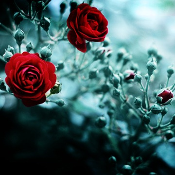 RED_ROSE_092