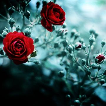 RED_ROSE_092