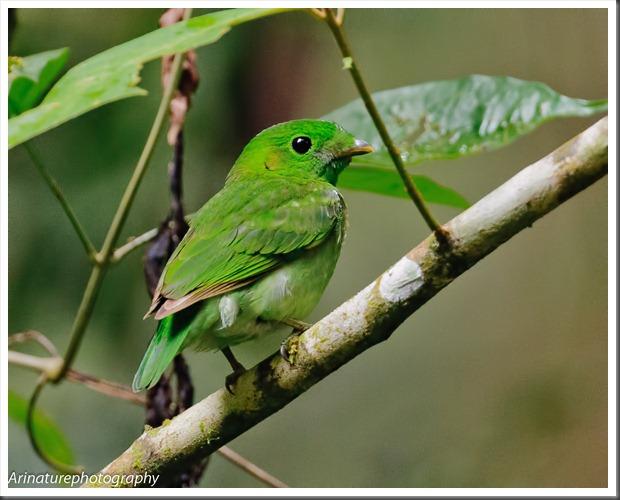 Green BB(f)2