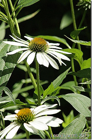 Echinacea_Lucky_Star2