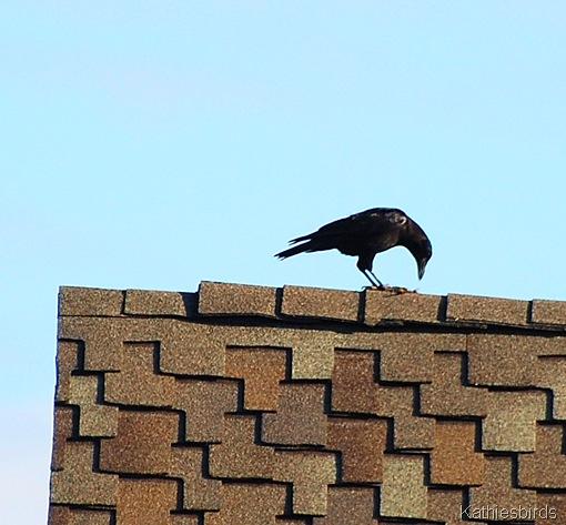 4. crow-kab