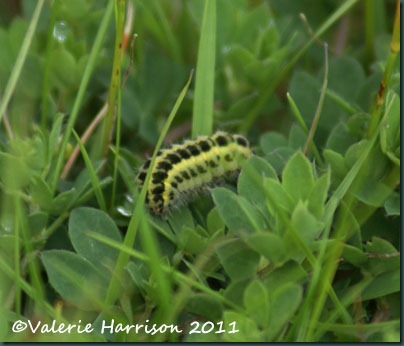 six spot burnet-caterpillar