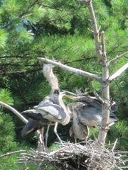great blue heron 3 in tree feeding time.4. 8.6.2013