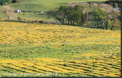 6-buttercup-field