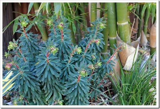 130225_Euphorbia-x-martinii_05