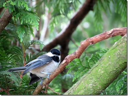 Young Chickadee