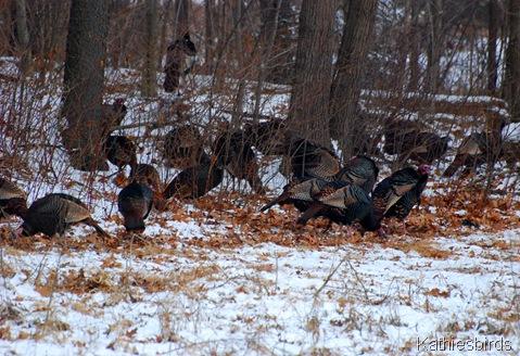 1. wild turkeys-kab