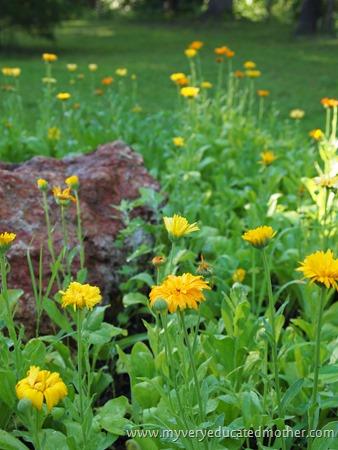 #garden #calendula #herbs