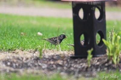 Harris' Sparrow two