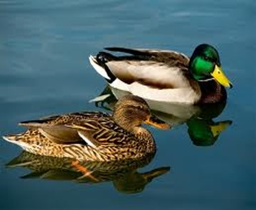 Amazing Pictures of Animals, photo, Nature, exotic, funny, incredibel, Zoo,  Mallard, Wild Duck (Anas platyrhynchos), Alex (12)