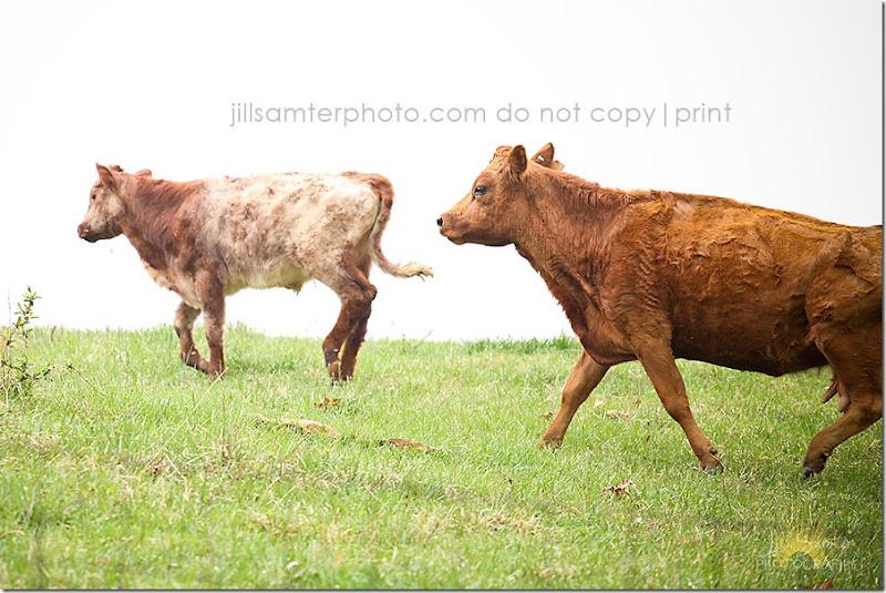 cows-5529