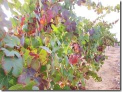 fall_vines