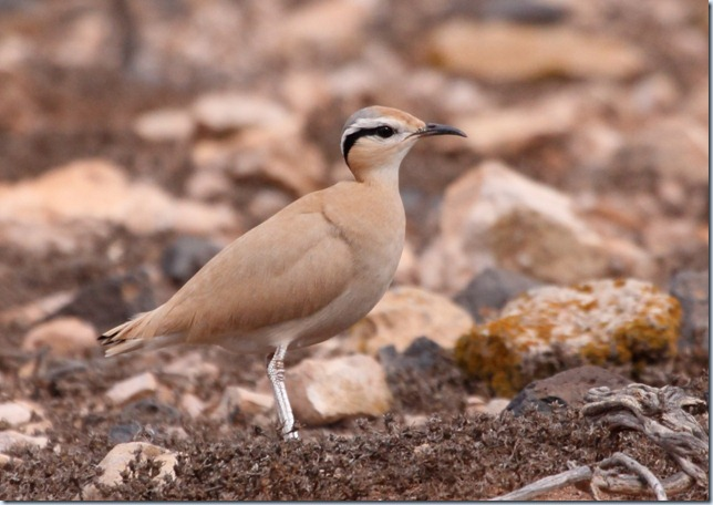 cream-coloured_courser