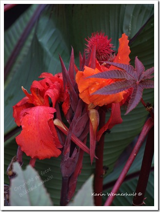 Liljaorangeröd