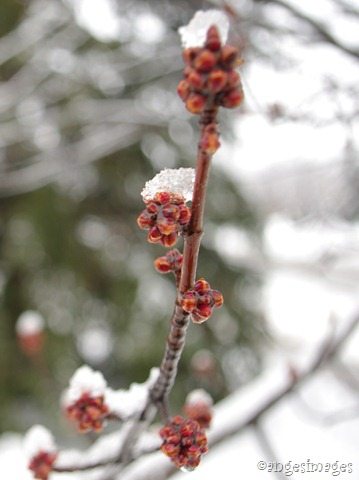 IMGP6208_maple buds in snow_02