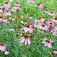 Purple%252520coneflower