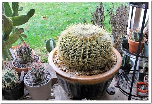 130219_Echinocactus-grusonii_01