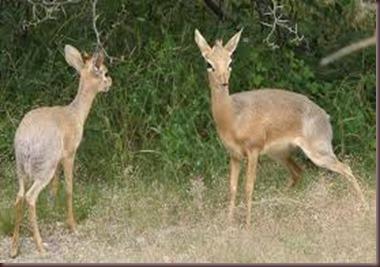 Amazing Pictures of Animals photo Nature, exotic, funny, incredibel Zoo, Dik-dik, antelope. Alex (11)