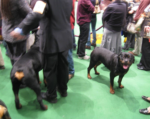 Rottweilers wait to go into the breed ring.