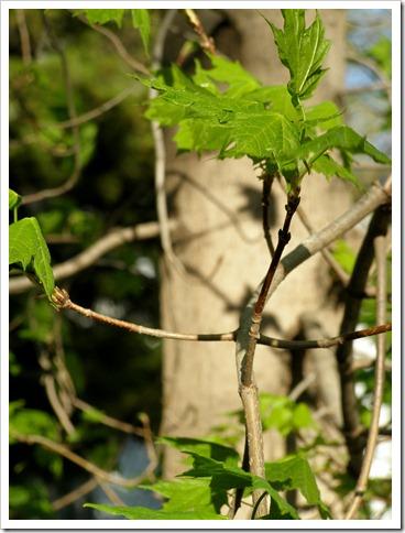 sugara maple