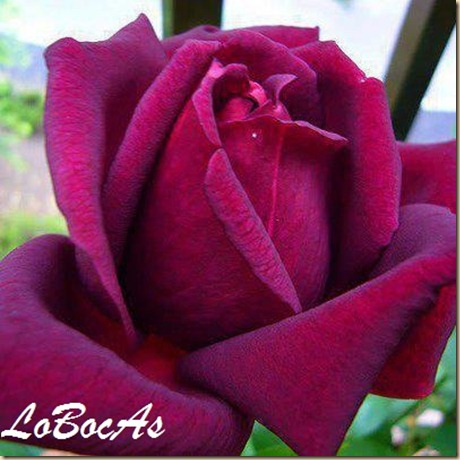 rosaroja-LoBocAs-07